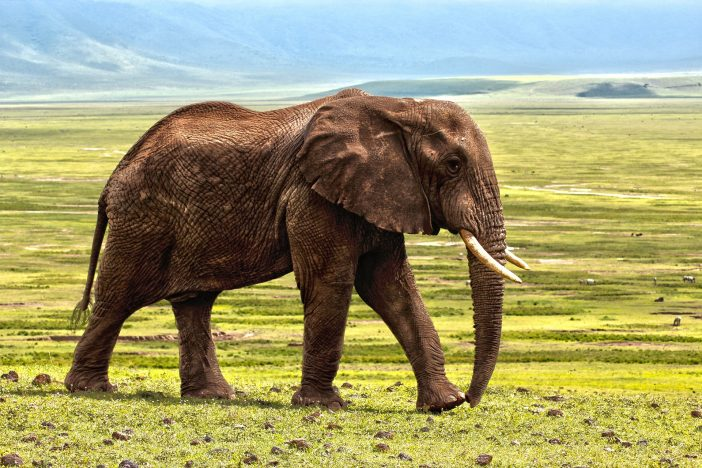 African Elephant Poaching Is On The Rise, Is China To Blame?