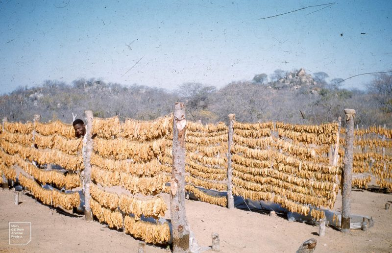 Zimbabwe tobaco farms