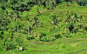 Indonesia agroforestry