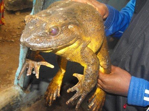 Goliath frog. (Photo: The Rufford Foundation)