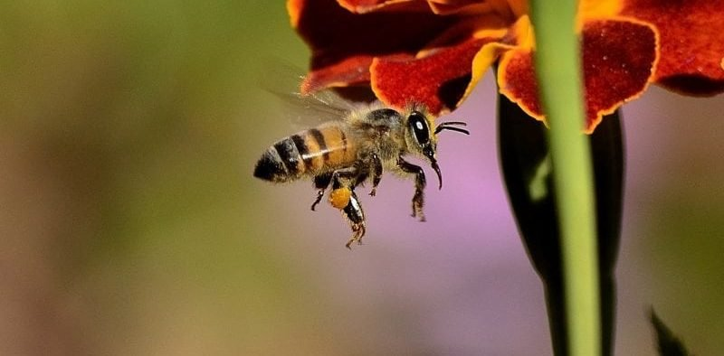pesticides are dumbing down bees