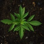 Bulldozed to Death for Growing Ten Marijuana Plants
