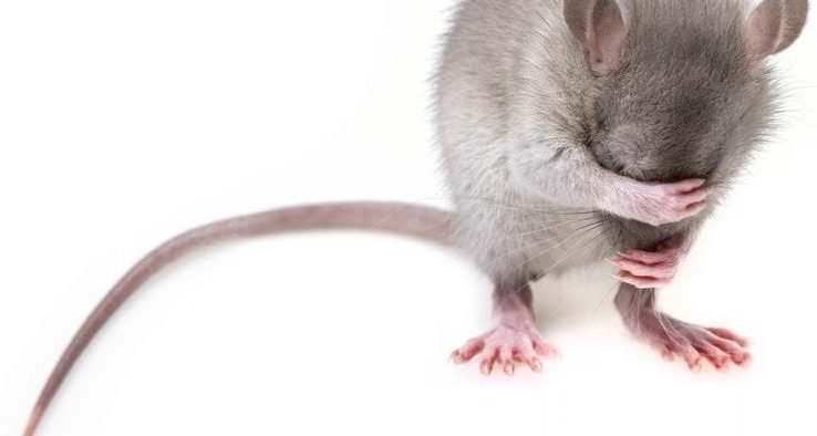 Image of a mouse covering its eyes.