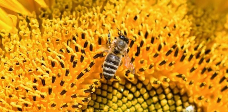picture, bee on yellow sunflower