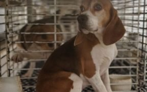 photo of a beagle named Julie who was rescued from dog abuse at a breeder for animal testing facilities.