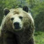Grizzly Bears Saved, Judge Reverses Approval to Hunt Grizzlies