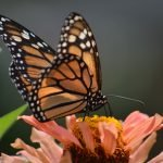 Is the Monarch Butterfly on the Brink of Extinction?