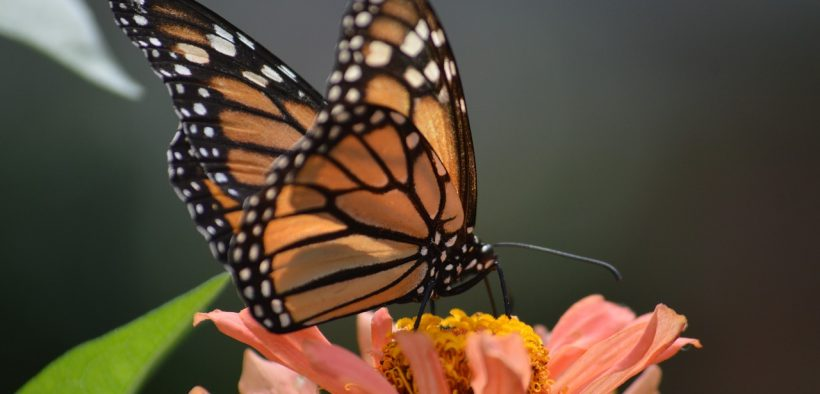 Up close photo of a monarch buttefly