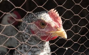 Photo of chicken behind a cage.