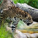 Jaguars Are Being Poached, Boiled Into a Paste and Exported to China