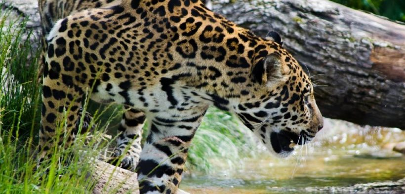 photo of a healthy living jaguar. Jaguars are being hunted and sold into an illegal wildlife trade encompassing Suriname and China.