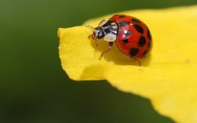 Close up of a ladybug on a yellow flower petal.