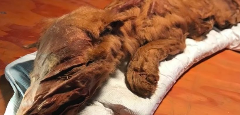 Photo of a mummified wolf pup remains now on display in the Yukon city of Dawson.