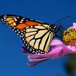 Monarch Butterfly in Crisis, Population Numbers Drop Drastically in One Year