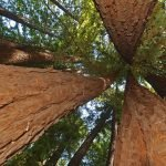 Judge Says US Law Doesn't Protect 3,000-Year-Old Trees