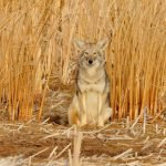 EPA Denies Petition to Stop Cyanide Use that Is Killing Wildlife