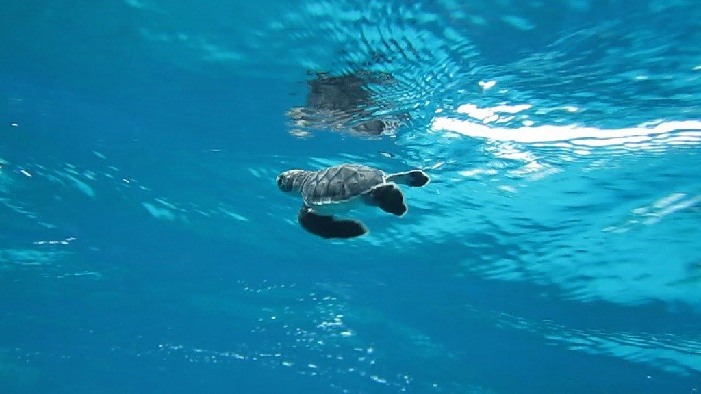 Climate Change Could Turn Over 90% of Green Turtles Female by 2100