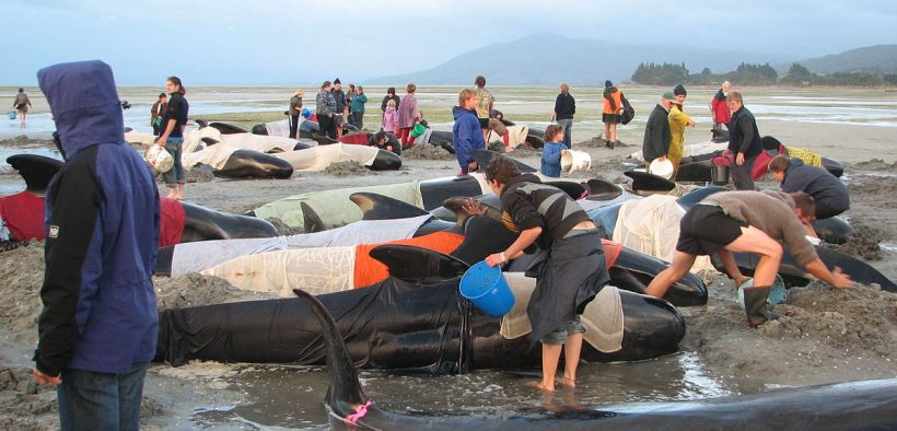 Volunteers attempt to keep body temperatures of beached pilot whales from rising at Farewell Spit, New Zealand in 2005.