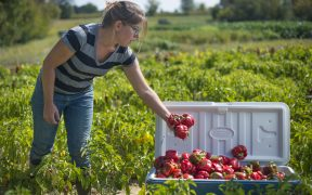 Kate Edwards has been managing Wild Woods Farm, a 7-acre vegetable farm in Johnson County, Iowa for seven years full-time. Along with these peppers, she grows 30 types of vegetables with 150 varieties. (USDA Photo: Preston Keres)