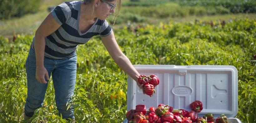 Kate Edwards ha gestito Wild Woods Farm, un'azienda agricola di 7 acri a Johnson County, Iowa per sette anni a tempo pieno. Insieme a questi peperoni, coltiva tipi di verdure 30 con varietà 150. (Foto USDA: Preston Keres)