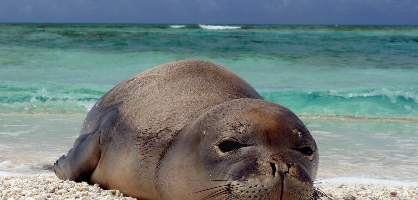 A newly weaned Hawaiian monk seal pup rests at Trig Island, French Frigate Shoals.