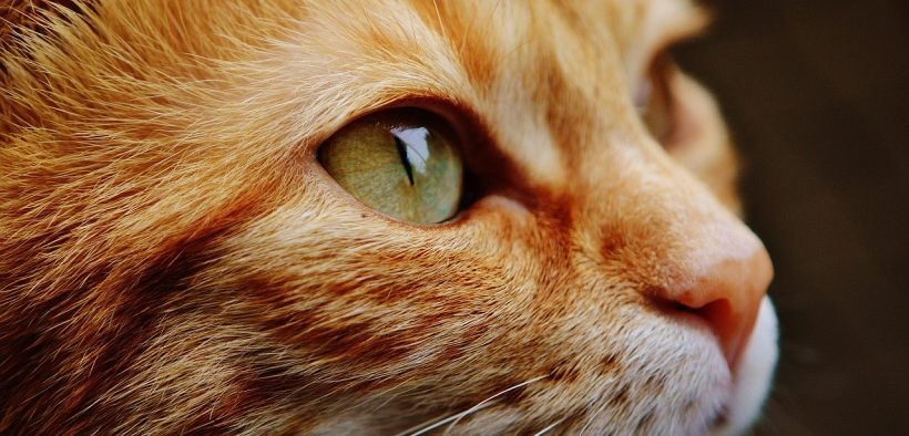 The most common side effects of using CBD oil for cats include sedation, sleepiness, and in rare cases, gastrointestinal issues. (Photo: Pixabay)