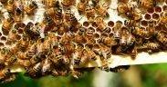 मधु मक्खियों