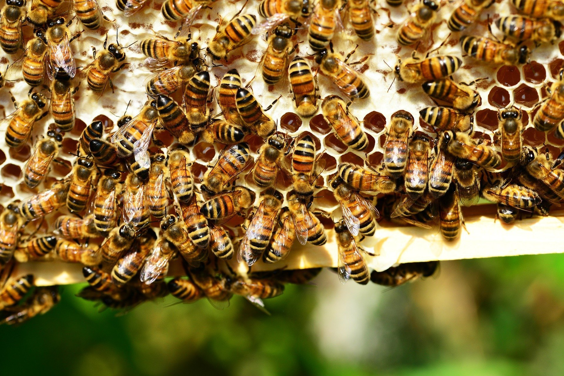Trump Administration Dealt Multiple Blows to Honey Bees This Month