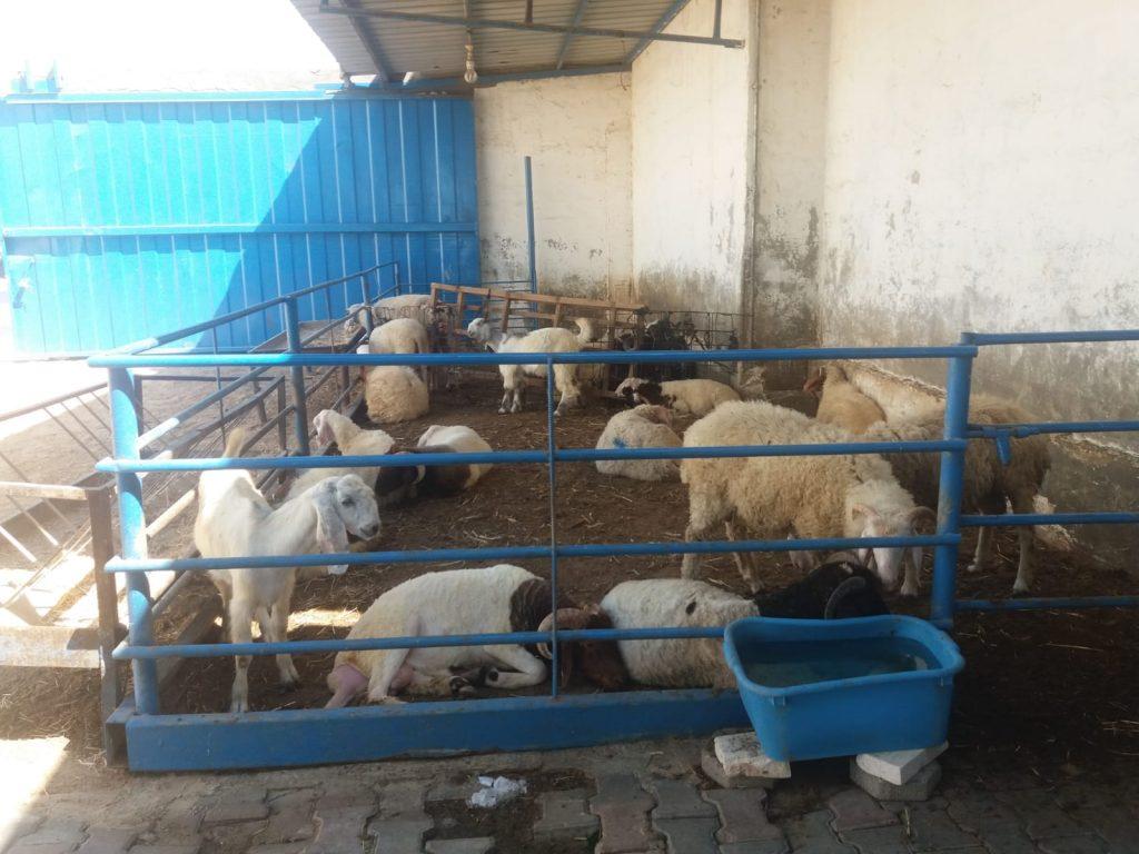 Fazenda de gado de Raed Affana na Faixa de Gaza. (Foto: Rami Almeghari)