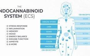 Eine Erklärung des Endocannabinoidsystems. (Grafik: Hergestellt von Hanf)
