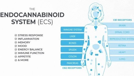 एंडोकैनाबिनॉइड प्रणाली की व्याख्या। (ग्राफिक: गांजा द्वारा निर्मित)