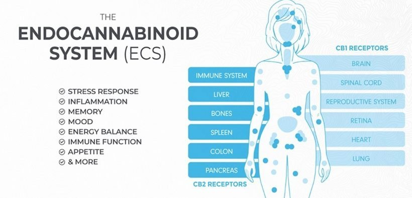 An explanation of the endocannabinoid system. (Graphic: Made By Hemp)