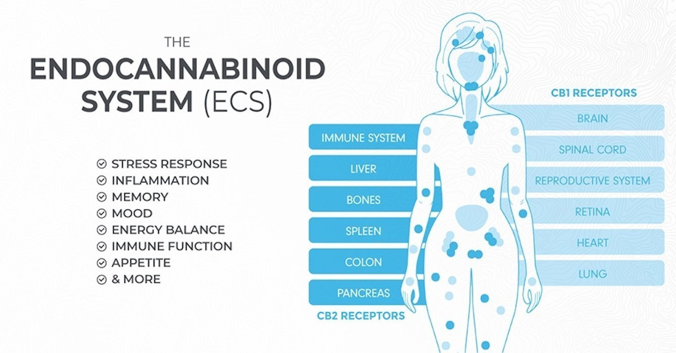 An Introduction to the Endocannabinoid System (What is it ...