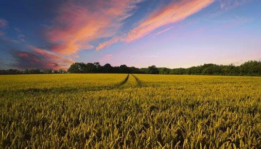 ферма, пшеничное поле