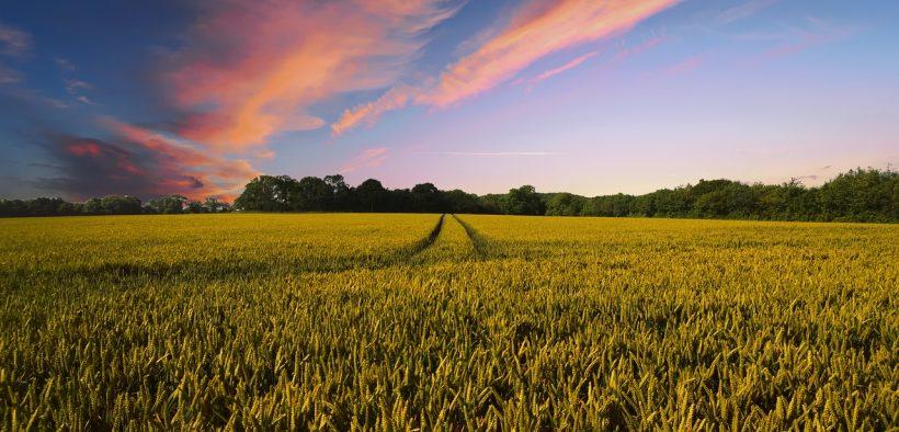farm, wheat field