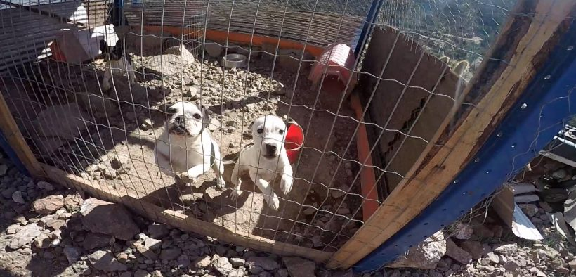 Dogs at the illegal kennel in Llay Llay, Chile.