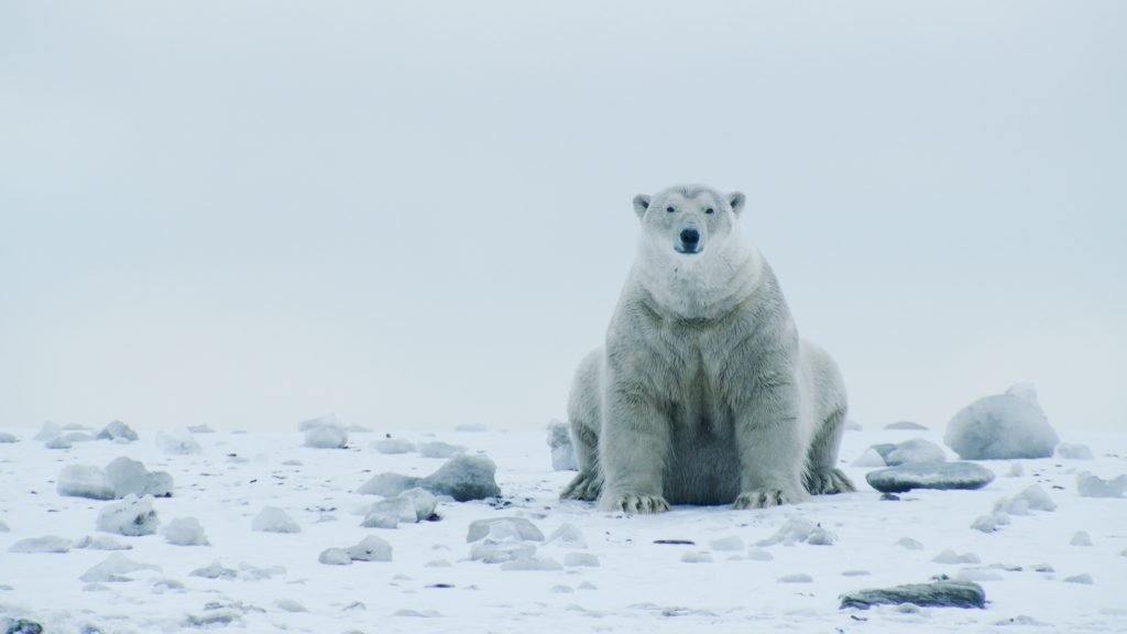 Threatened by Trump: The coastal plain provides critical denning habitat for mother polar bears during the winter months. Credit: Florian Schulz