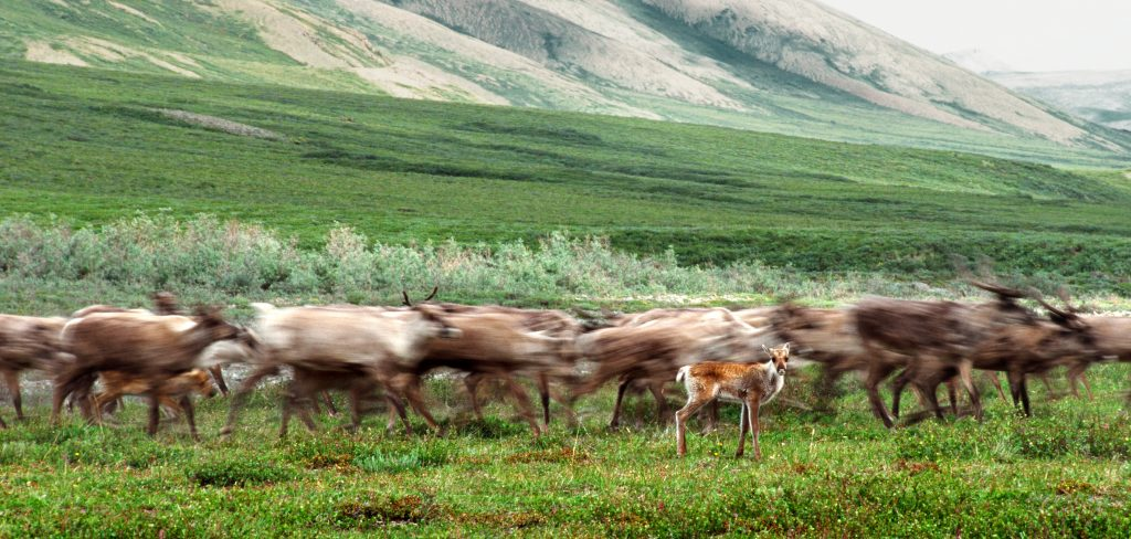 The Arctic National Wildlife Refuge coastal plain is the primary calving grounds for the Porcupine caribou herd. Credit: Ken Madsen