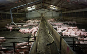 Flourishing antibiotic resistance is just one of the many public health crises produced by factory farming. Other problems include foodborne illness, flu epidemics, the fallout from poor air and water quality, and chronic disease. (Photo credit: Farm Watch/Flickr)