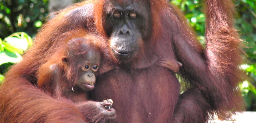 Mama and baby orangutan at Camp Leakey, Tanjung Puting, Indonesia (Rainforest Action Network/Flickr)