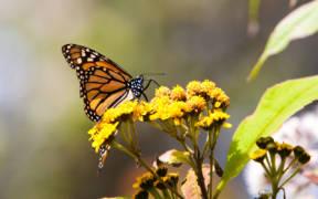 MonarchButterflyMexico