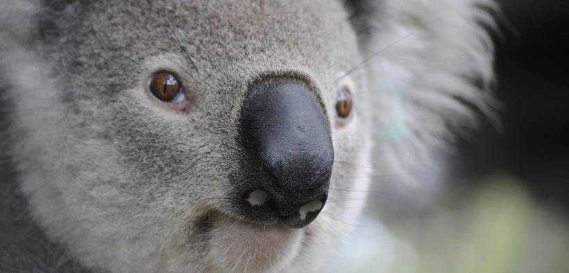koala. The fires ravaging Australia are yet another sign of the urgency needed to deal with the climate crisis.
