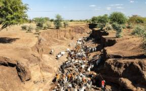 1280px Cattle herd in riverbed Afar Ethiopia