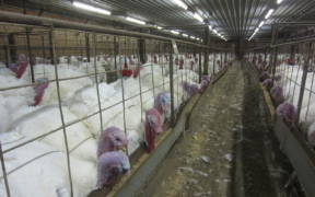 1280px Overcrowding of turkeys found during an undercover investigation at a factory farm in North Carolina owned by Butterball. 02