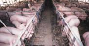 Hog confinement barn interior