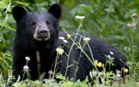 Black Bear in Alaska 1750394833 e1594664341657