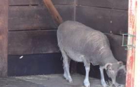 Santa Cruz sheep Roger Williams Park Zoo