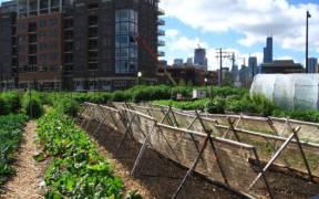 New crops Chicago urban farm e1598639925877