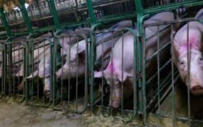 Undercover Investigation at Manitoba Pork Factory Farm 8250115715 e1596477048442