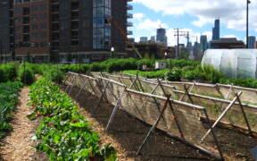 Chicago urban farm 1